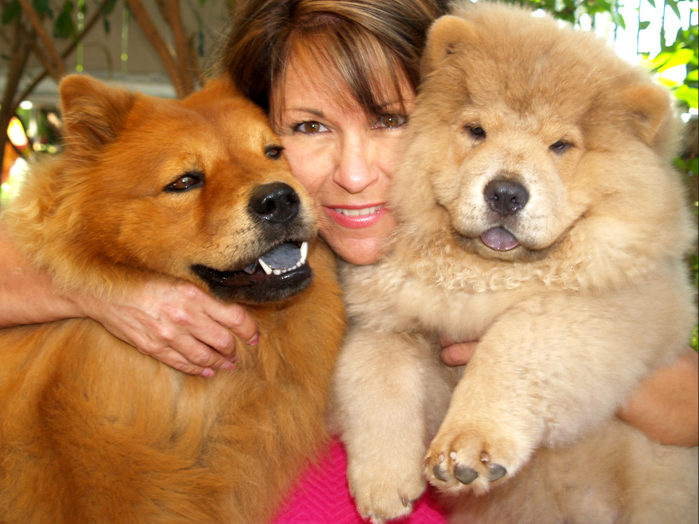Chow Chow Lion Cut As a chow chow posts: 57